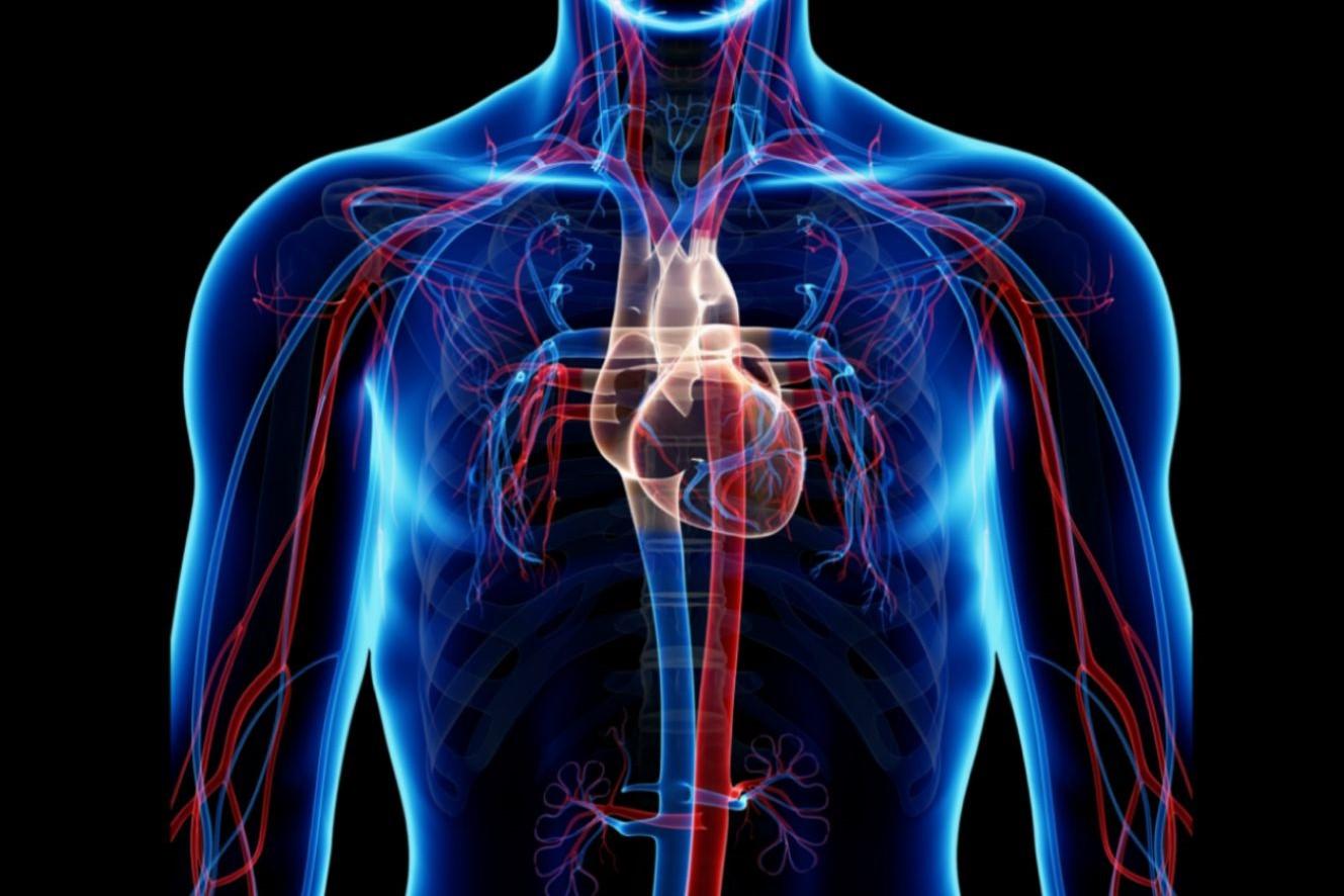 circulatory_system-56e73fe45f9b5854a9f962fc