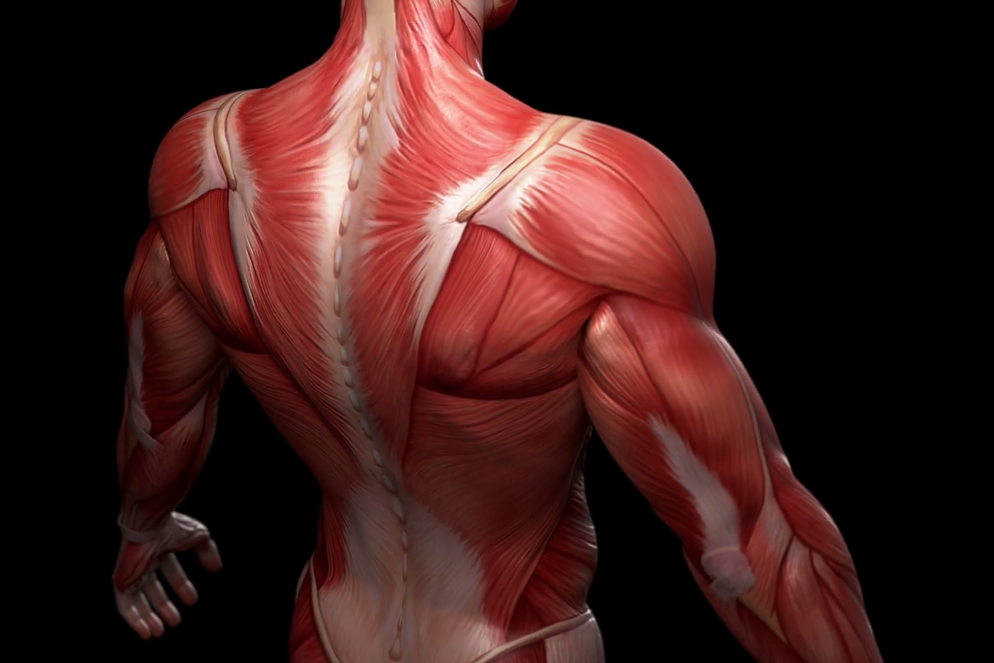 complete-3d-animation-of-the-muscles-of-the-human-male-body-alpha-included_r8lj9p6mx_thumbnail-full03